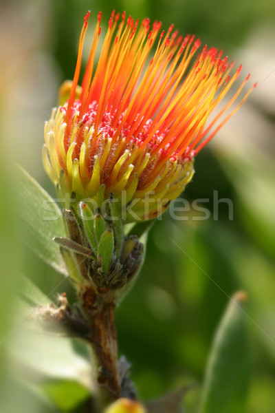 Pincushion Protea - Leucospermum Stock photo © lovleah