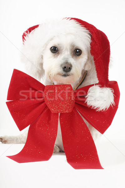 Puppy for Christmas Stock photo © lovleah