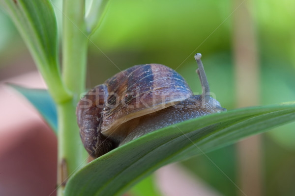Snail garden pest or french delicacy Stock photo © lovleah