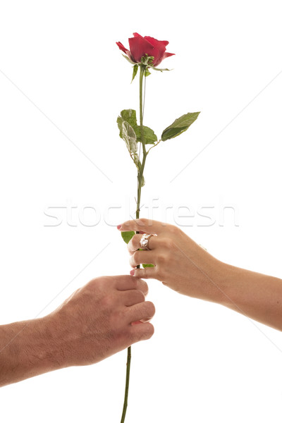 Male and Female hold a Single Red Rose of Devotion Stock photo © lovleah