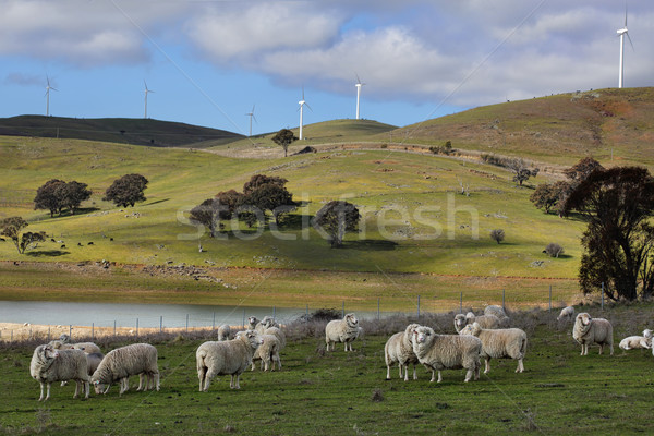 Sheep grazing at Carcoar Central West NSW Stock photo © lovleah