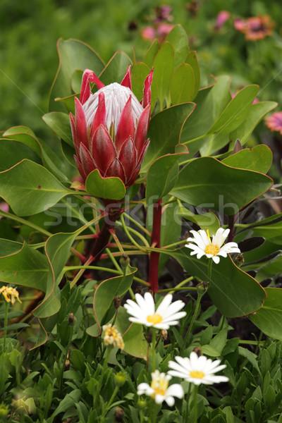 Young protea in the garden Stock photo © lovleah