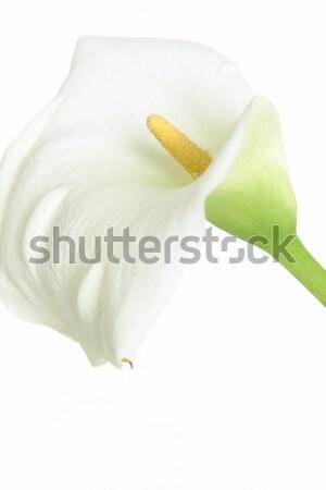 White calla on white Stock photo © lovleah