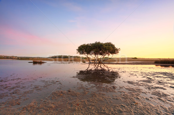 Lone Mangrove Tree Stock photo © lovleah