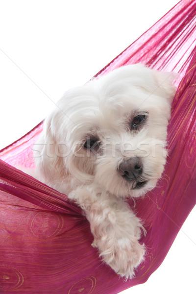 Cute maltese terrier Stock photo © lovleah