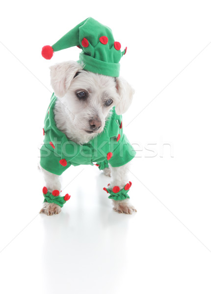 Small elf or jester puppy dog looking down at something Stock photo © lovleah
