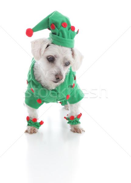 Pequeño elfo cachorro perro mirando hacia abajo algo Foto stock © lovleah