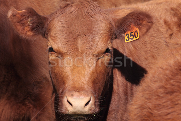 Shorthorn Cattle Stock photo © lovleah