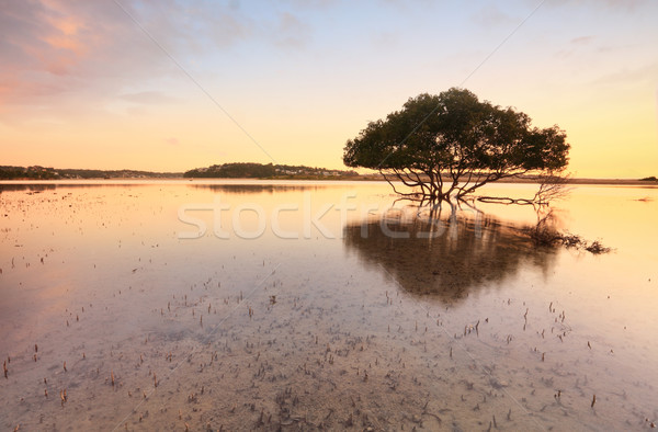Lone mangrove tree and roots in tidal shallows Stock photo © lovleah