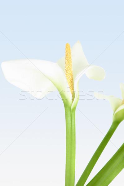 изысканный цветок красивой белый Лилия желтый Сток-фото © lovleah