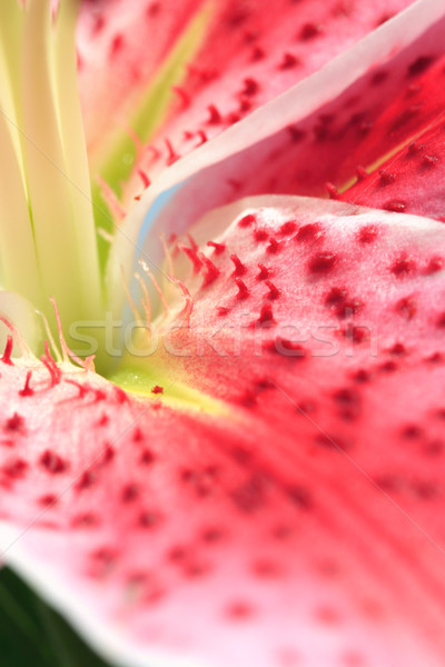 Stargazer Lily abstract Stock photo © lovleah
