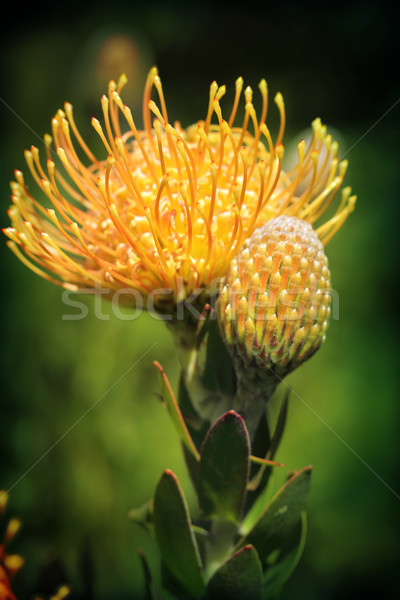 Yellow Pincushion Protea in flower Stock photo © lovleah