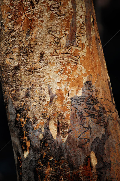 Scribbly Gum Stock photo © lovleah