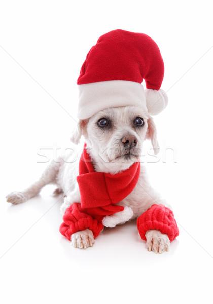 Accogliente cane indossare Hat sciarpa Foto d'archivio © lovleah