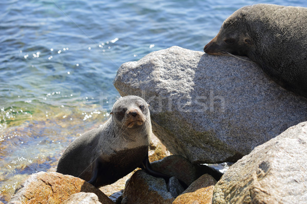 Seal Pup emerging from water Stock photo © lovleah