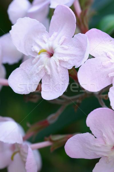 Luculia gratissima - flowers Stock photo © lovleah