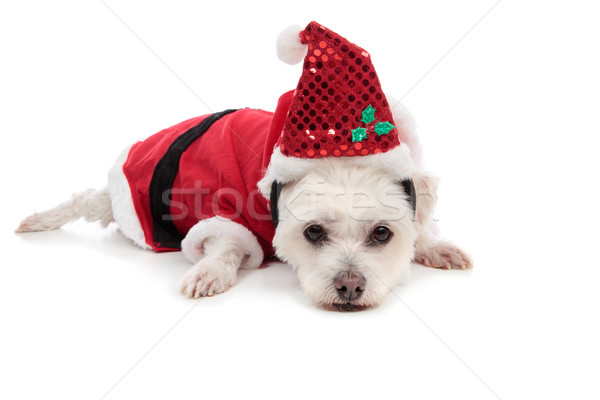 Small white dog in santa suit Stock photo © lovleah