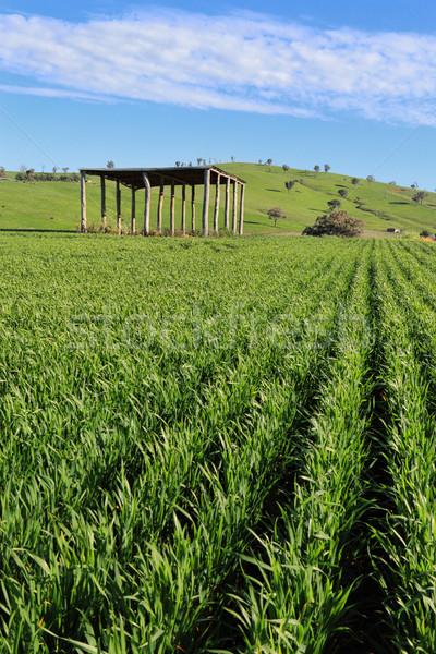 農民 作物 成長 オーストラリア人 太陽 空 ストックフォト © lovleah