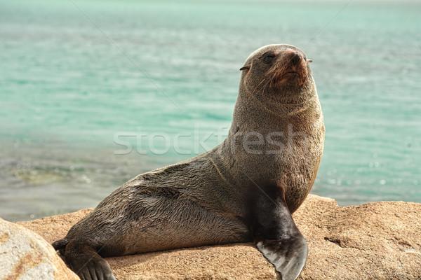Seal on the rocks Stock photo © lovleah