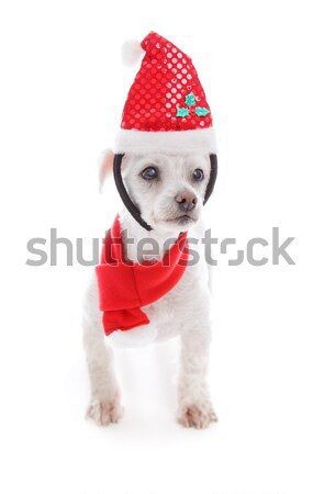 Pet dog wearing  Christmas headband and scarf Stock photo © lovleah