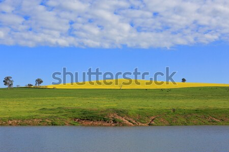 Canola Hills and Grazing Pastures Stock photo © lovleah
