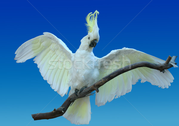 Cacatua pássaro branco asa Austrália animais selvagens Foto stock © lovleah