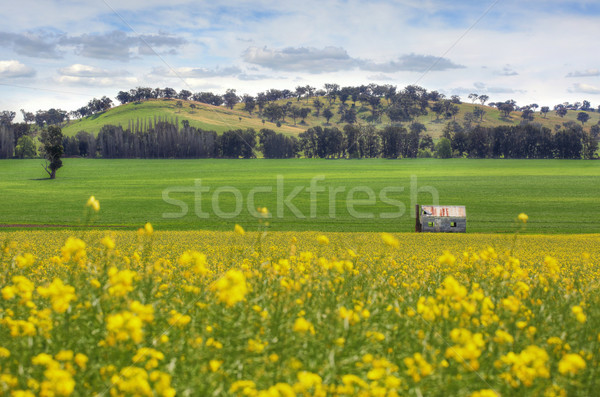Stock photo: Abandoned farm house in fields of Canola
