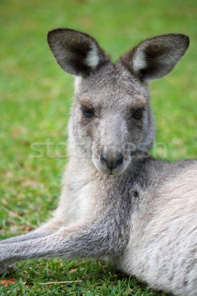 Doğu gri kanguru memeli büyük kulaklar Stok fotoğraf © lovleah