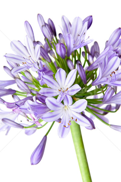 Agapanthus - African Lily Stock photo © lovleah