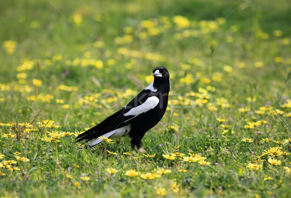 Australian Magpie Cracticus tibicen Stock photo © lovleah