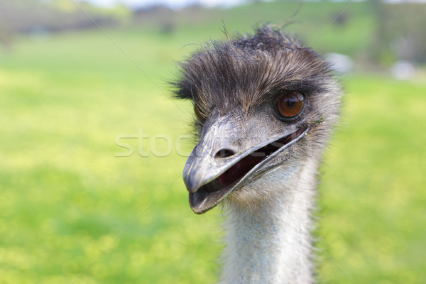 Happy emu Stock photo © lovleah
