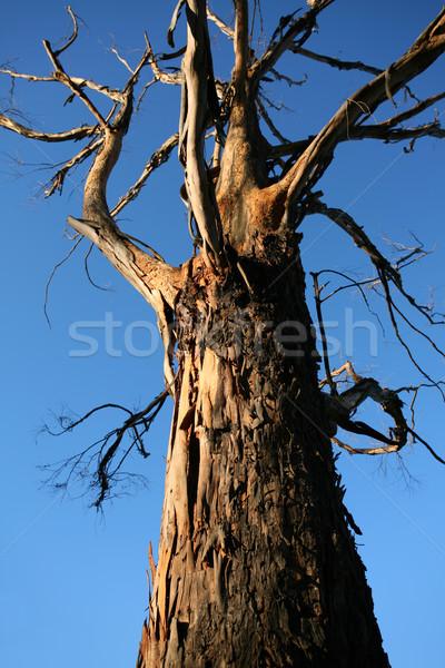 Old gnarled tree  Stock photo © lovleah
