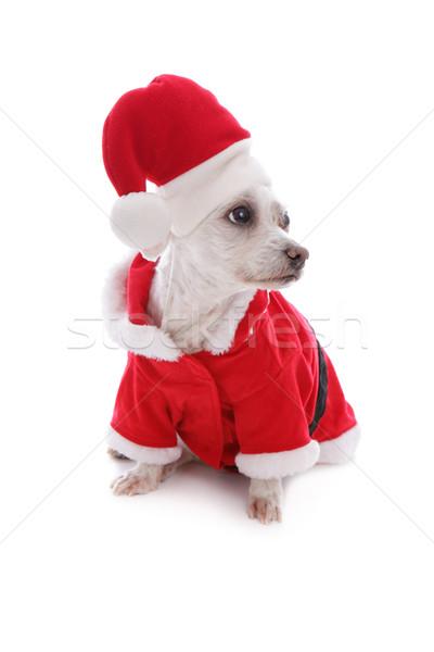 Christmas festive dog wearing santa hat looks sideways Stock photo © lovleah