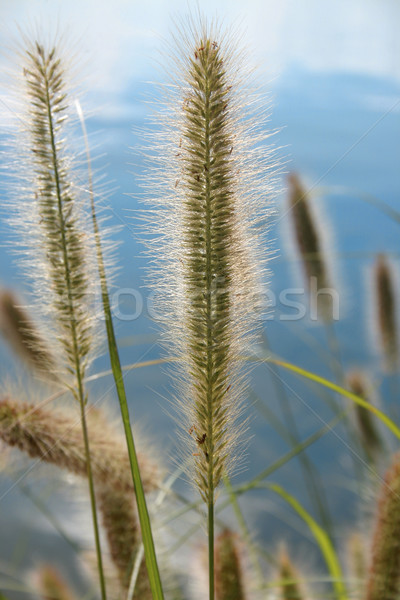 Pennisetum alopecuroides ornamental grass Stock photo © lovleah