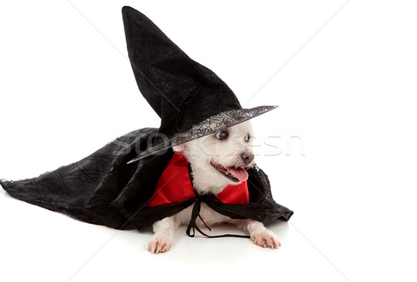 Scary wizard or wicked witch dog Stock photo © lovleah
