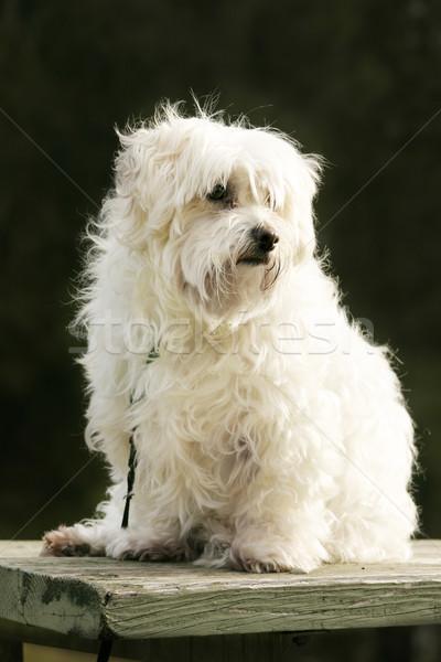 Maltese terroer [et dog Stock photo © lovleah