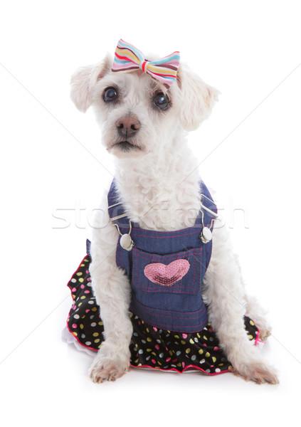 Perro denim vestido pequeño blanco Foto stock © lovleah