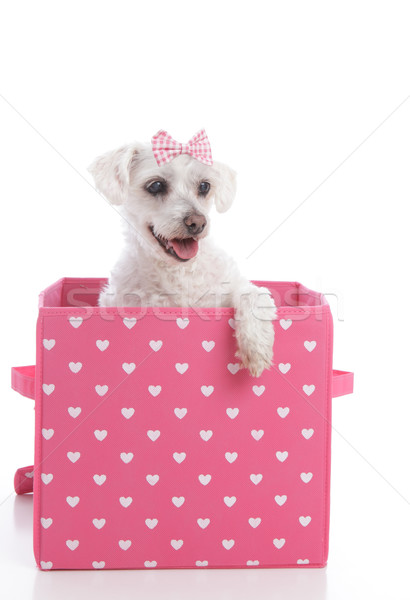 Cute little dog in a pink and white love heart box Stock photo © lovleah