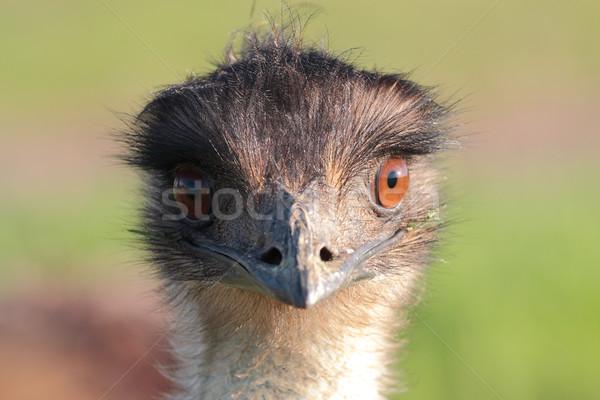 Emu portrait Stock photo © lovleah