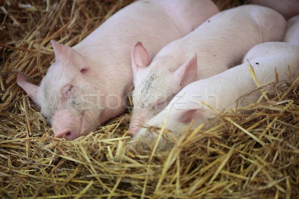 Three little pigs Stock photo © lovleah