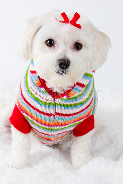 Winter puppy dog wearing striped jumper Stock photo © lovleah