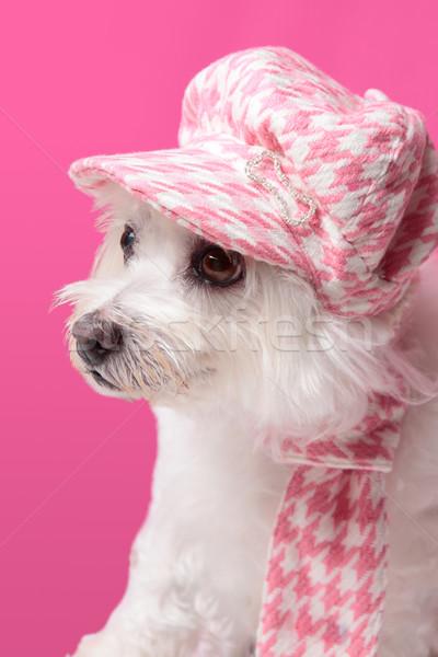 Puszysty psa zimą moda piękna Zdjęcia stock © lovleah