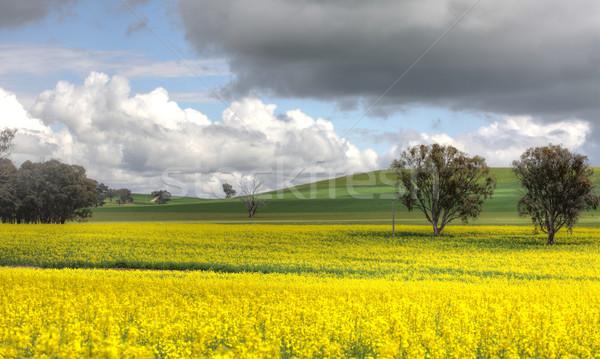Farming Canolo in Cowra Stock photo © lovleah
