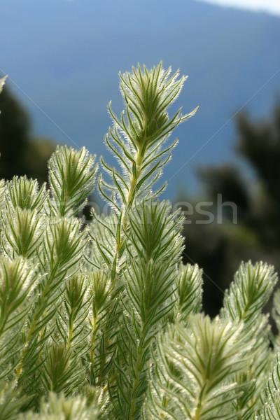 Flannel Bush Stock photo © lovleah