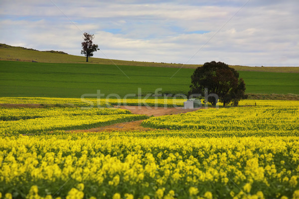 Canola crops rural Australia Stock photo © lovleah