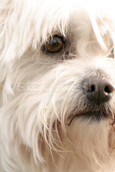 テリア クローズアップ 見える 犬 ストックフォト © lovleah