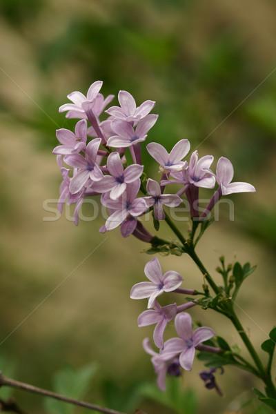Paars rond wereld schoonheid geur Stockfoto © lovleah
