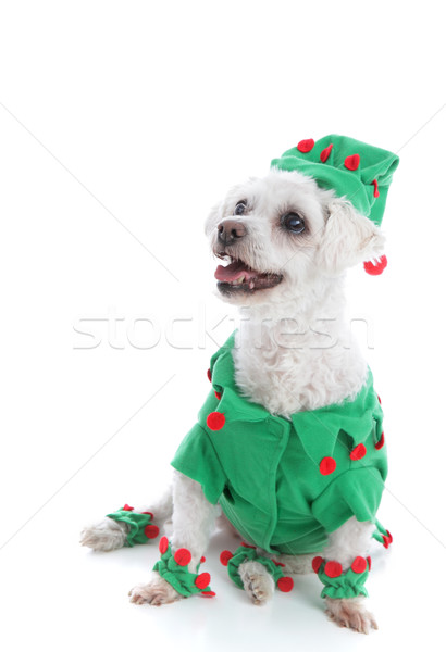 Pet dog wearing an elf or jester costume Stock photo © lovleah