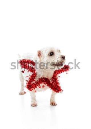 Pet wearing a red tinsel star Stock photo © lovleah