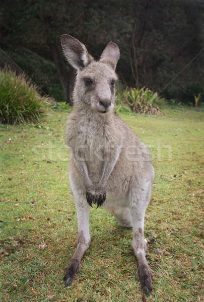 Canguro giovani orientale grigio bella verde Foto d'archivio © lovleah